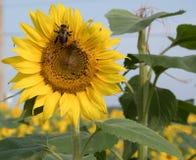 Ett bi på en solros på Anderson Sunflower Farm royaltyfria bilder