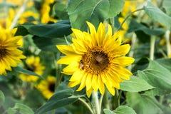 Ett bi på en solros på Anderson Sunflower Farm arkivbilder