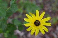 Ett bi på en tusensköna Arkivfoton