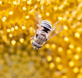 Ett bi på solrosen Royaltyfri Bild