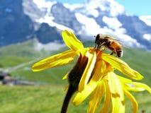 Ett bi p? en bergblomma royaltyfria bilder