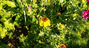 Ett bi pollinerar en solros Royaltyfri Bild