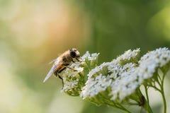Ett bi samlar nektar från blommor Royaltyfri Bild