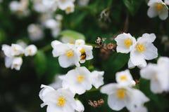 Ett bi samlar nektar på blommor Royaltyfria Foton