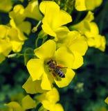 Ett bi samlar pollen från blommor Arkivfoton