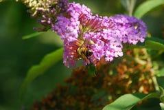 Ett bi samlar pollen från en blomma Arkivbilder