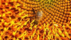 Ett bi samlar pollen på solrosen, närbild arkivfilmer