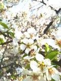 Ett bi sitter på en körsbärsröd blomma pollinerar krypet för vårblomningträdgårdar royaltyfria foton