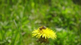 Ett bi som bort samlar nektar från maskrosen och därefter fluga, ultrarapid arkivfilmer