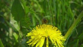 Ett bi som bort samlar nektar från maskrosen och därefter fluga, ultrarapid lager videofilmer