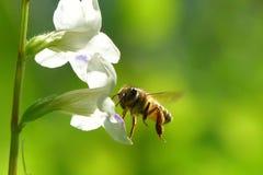 Ett bi som flyger till den härliga blomman arkivbild
