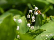 Ett bi som flyger till kunna-liljan royaltyfri foto