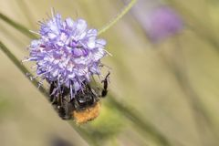 Ett bi som klamra sig fast intill en purpurfärgad blomma Arkivfoton