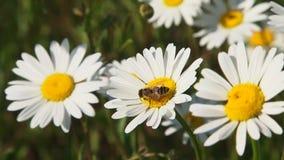 Ett bi som samlar Nectar From Chamomile arkivfilmer
