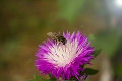 Ett bi som samlar nektar med den härliga våren, blommar En lila Arkivfoto