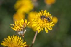 Ett bi som samlar pollen Arkivfoto