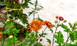 Ett bi som samlar pollen från en orange färgkrysantemumblomma royaltyfria bilder
