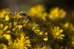 Ett bi som samlar pollen från gula blommor royaltyfri fotografi