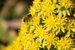 Ett bi som samlar pollen från gula blommor fotografering för bildbyråer