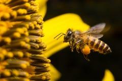 Ett bi som svävar, medan samla pollen från solrosblomningen Hår på bi täckas i gul pollen, som är det är lägger benen på ryggen S Royaltyfria Bilder