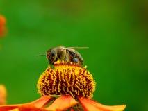 Ett bi som upp väljer en nektar Royaltyfri Fotografi