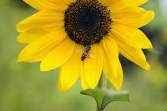 Ett bi svävar uppe på solrosståndarknappen royaltyfria bilder