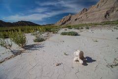 Ett bisonkotaben sitter på förtorkad lera som bakar i solen Arkivfoton