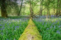 Ett blåklockaträ i Sussex Royaltyfria Foton