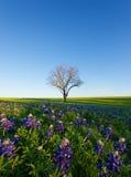Ett blått hättafält, Ennis, Texas Royaltyfri Fotografi