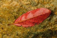 Ett blad är rött Arkivfoto