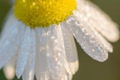 Ett blad av grassdaisies med vattendroppar Royaltyfria Foton