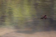 Ett blad i fridfullt vatten Arkivbild