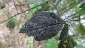 Ett blad som smittas med svampar, har vänt svart royaltyfri foto