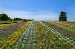 Ett blommafält av pansies Den Tottori Hanakairo blomman parkerar Arkivbilder