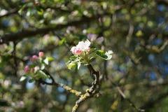 Ett blommande träd Arkivfoton
