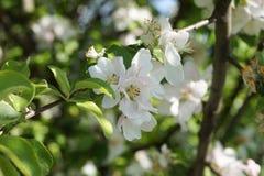 Ett blommande träd Royaltyfri Bild