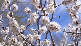 Ett blomningaprikosträd Kryp pollinerar blommorna Längd i fot räknatgem 4k, UHD, ultra HD lager videofilmer