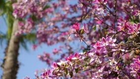Ett blomstra träd under en klar blå himmel Det mellersta planet Blommor hörs i vinden stock video