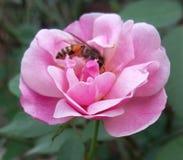 Ett bra kamratskap mellan rosa abd ser Fotografering för Bildbyråer