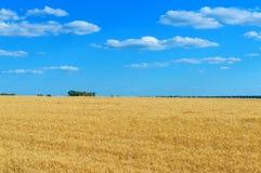 Ett brett gult fält av spikelets av vete och en blå himmel ovanför den soligt väder Begreppet: fred och välstånd arkivbild