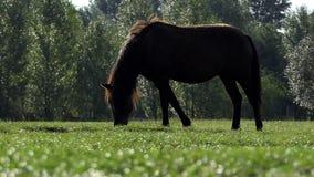 Ett brunt hästskrubbsårgräs på en gräsmatta i sommar i slo-mo lager videofilmer