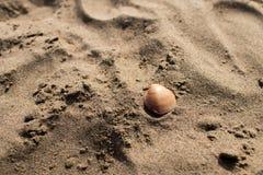 Ett brunt skal på sanden av en strand Arkivbild