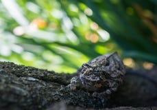 Ett chamelonnederlag i vanlig sikt Arkivfoto