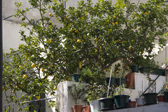 Ett citronträd i gården Royaltyfria Foton