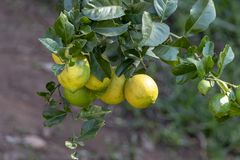 Ett citrontr?d royaltyfria bilder