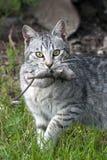 Ett closeupkort av kattjägaren med låsmusen Royaltyfria Foton