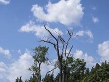 Ett dött träd som står fortfarande Arkivfoton