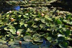 Ett damm med liljor Royaltyfri Foto