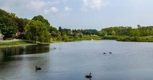Ett damm med svarta svanar i den engelska bygden Royaltyfri Fotografi