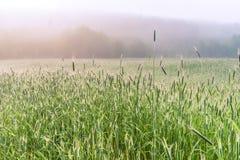 Ett dimmigt vetefält för morgon på våren, Kiev region, Ukraina arkivfoto